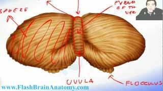 Lessons And 3D Anatomy Software: Cerebellum Anatomy 2