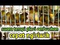 Terapi Pleci Ombyokan Agar Cepat Ngiriwik Dan Pleci Buka Paruh  Mp3 - Mp4 Download