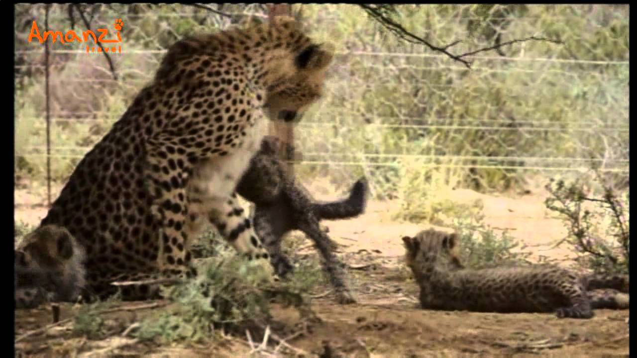 Volunteer in Africa at the Cheetah and Wildlife Rehabilitation Project