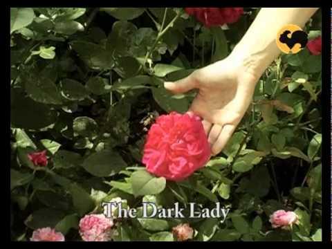 Розы в Саду. серия 09. Розы остина