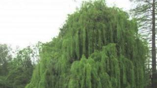 Fast Growing Weeping Willow Best Willow Ever