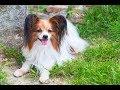 【最新版・犬種図鑑】パピヨン【犬を知る】 の動画、YouTube動画。