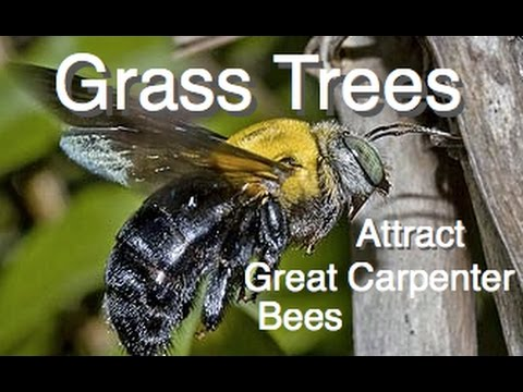 Grass Trees - Attracts Largest native Bee in Australia