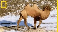 Les caractéristiques insoupçonnées des chameaux