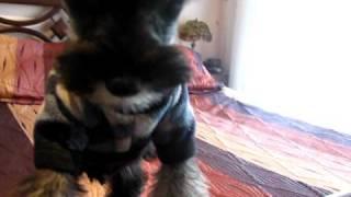 Max, Mi Schnauzer Mini Cachorro Tratando De Comer Aire.