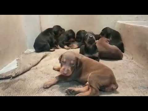 Cute Doberman Pinscher puppies!