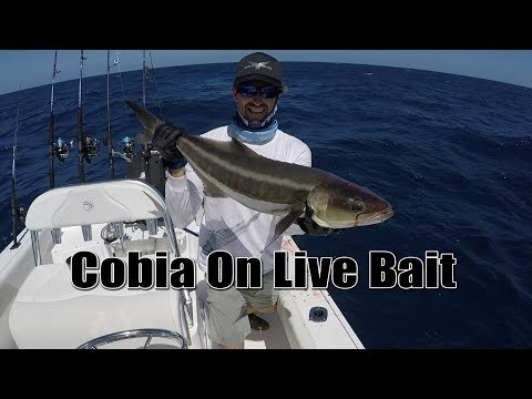 How To Catch Cobia Using Live Bait