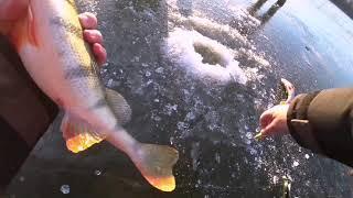 Рыбалка на Оке Раздача крупного окуня судак в прилове