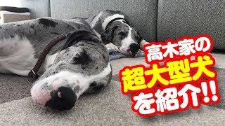 高木家の双子犬・グレートデーンのアヤ&タカ登場!