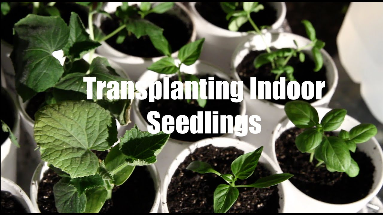Start Garden Seeds Indoors 10 garden series 6 how to transplant seedlings when starting 10 garden series 6 how to transplant seedlings when starting seeds indoors youtube workwithnaturefo