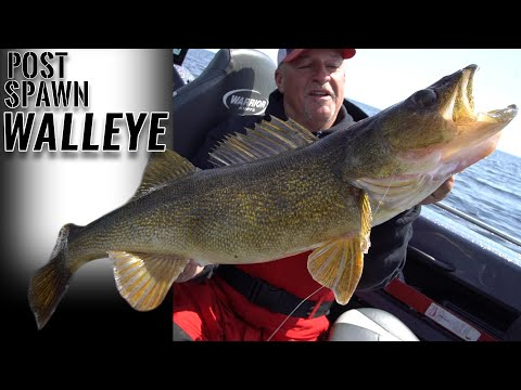 HUGE Post Spawn Walleye (Fishing Tips And Techniques)