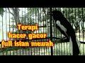 Kacer Gacor Masteran Terapi Kacer Habis Mabung Dijamin Gacor Dan Isian Mewah  Mp3 - Mp4 Download