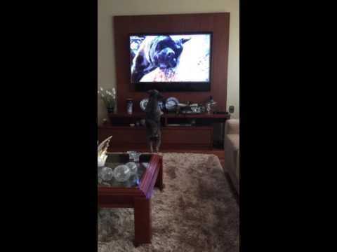 Dog's reaction while watching other dogs on TV