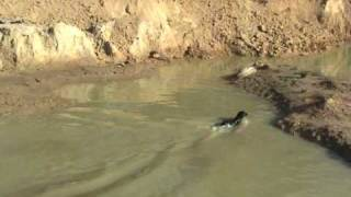 Jill, Ball Maniac - Labrador Retriever Training For Duck Hunting