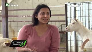 Hayvancılık Dünyası - Saanen Keçi Yetiştiriciliği