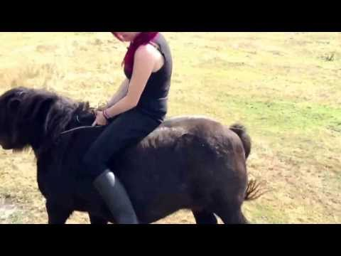 how to break a shetland pony to ride