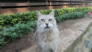 Grey and white cat with long whiskers meowing so cute for food