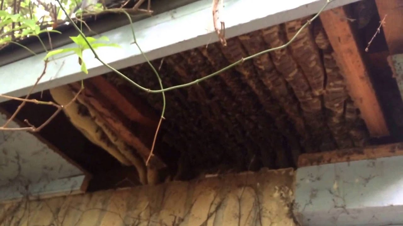 Bee Removal 078 Huge Colony In Soffit Spring Texas