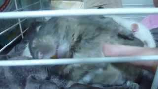 degu and rat living same cage. but they never fight and abuse. わが...