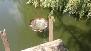 Як я кормлю рибу в своєму ставку.