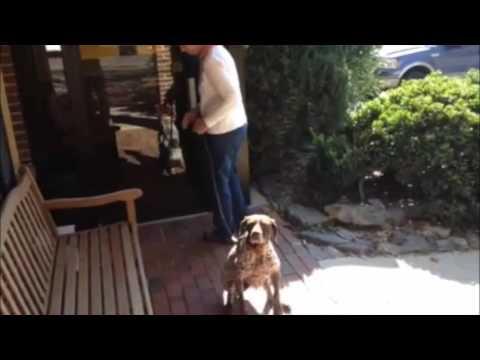 Rebel the Dog Aggressive, 9 Year Old German Short Hair Pointer