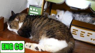 Neko Cat & Boss Cat Sleep at Cafe【Eng CC】