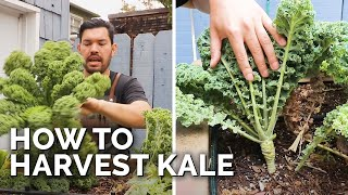 How to Harvest Kale (+ Kale Chips Recipe)