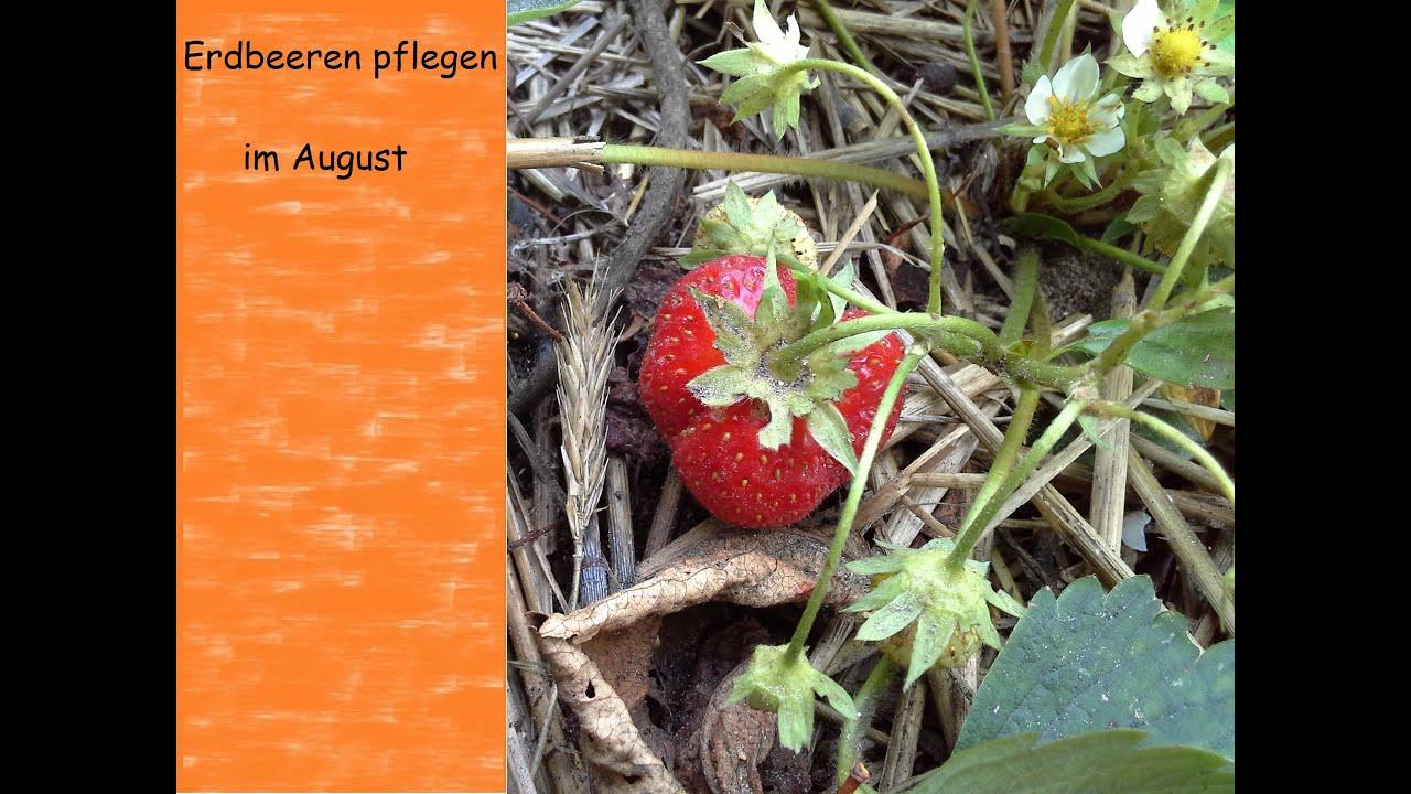 Geliebte Erdbeeren Pflege im August Schnitt Düngung und Rotfleckenkrankheit #QF_84