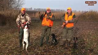 Шикарная охота на фазана с русскими спаниелями  Часть 1