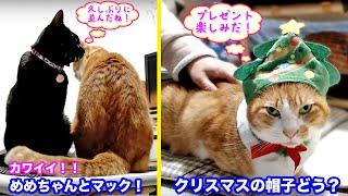 <2匹の猫通信>「ほっこりライブ」ハッチ&マック+黒猫めめ 〜 2019 12 10 - Cat Live Stream in Japan - Cat Life TV