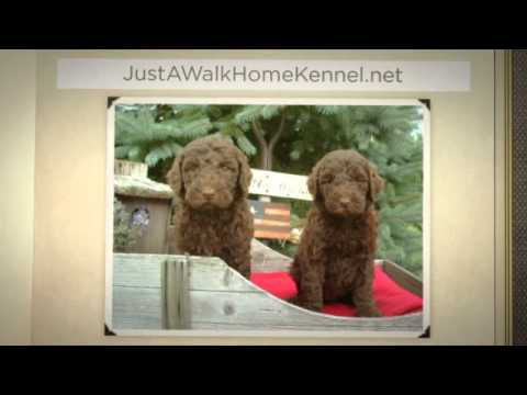 Labradoodle Puppies In Ohio   Just A Walk Home Kennel   330 527 5959