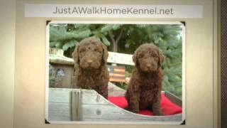 Labradoodle Puppies In Ohio - Just A Walk Home Kennel - 330-527-5959