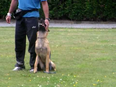 9 month old malinois clicker training