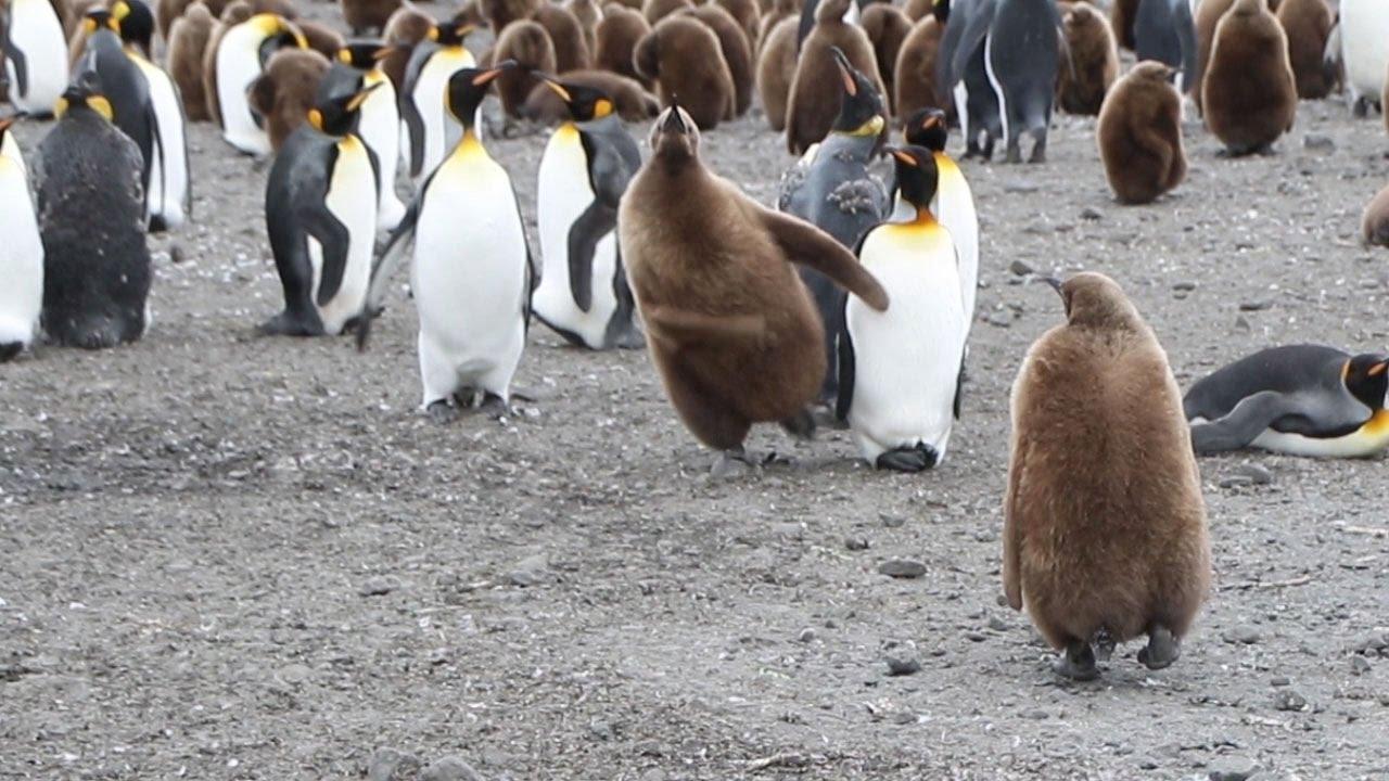 Penguinchik 66