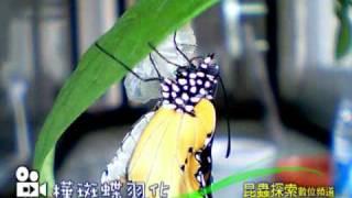 樺斑蝶是竹興國小蝴蝶園的第一批嬌客,每年6~12月間就會造訪校園。 ─本...