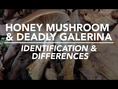 Honey Mushroom & Deadly Galerina - Identification and Differences with Adam Haritan