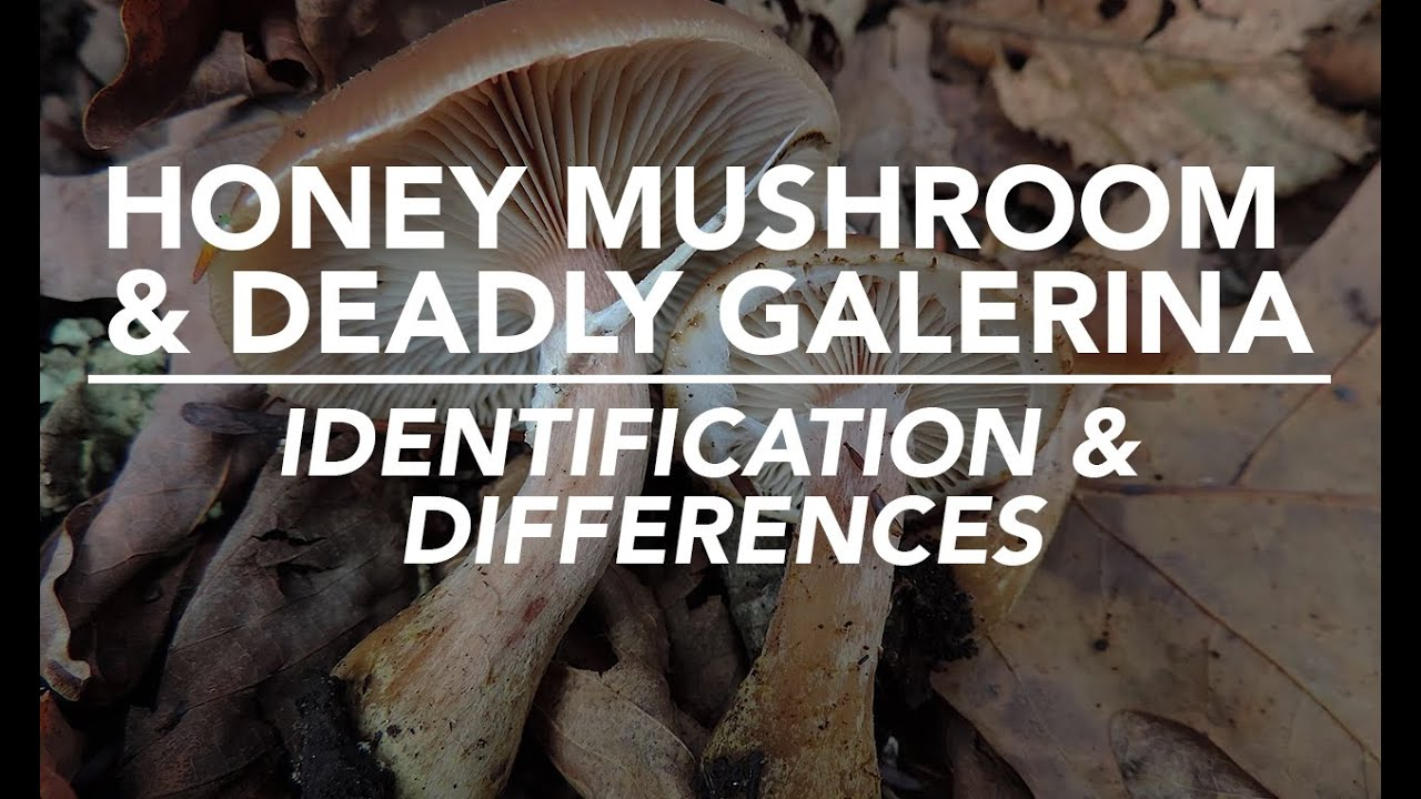 Honey Mushroom Deadly Galerina Identification And Differences