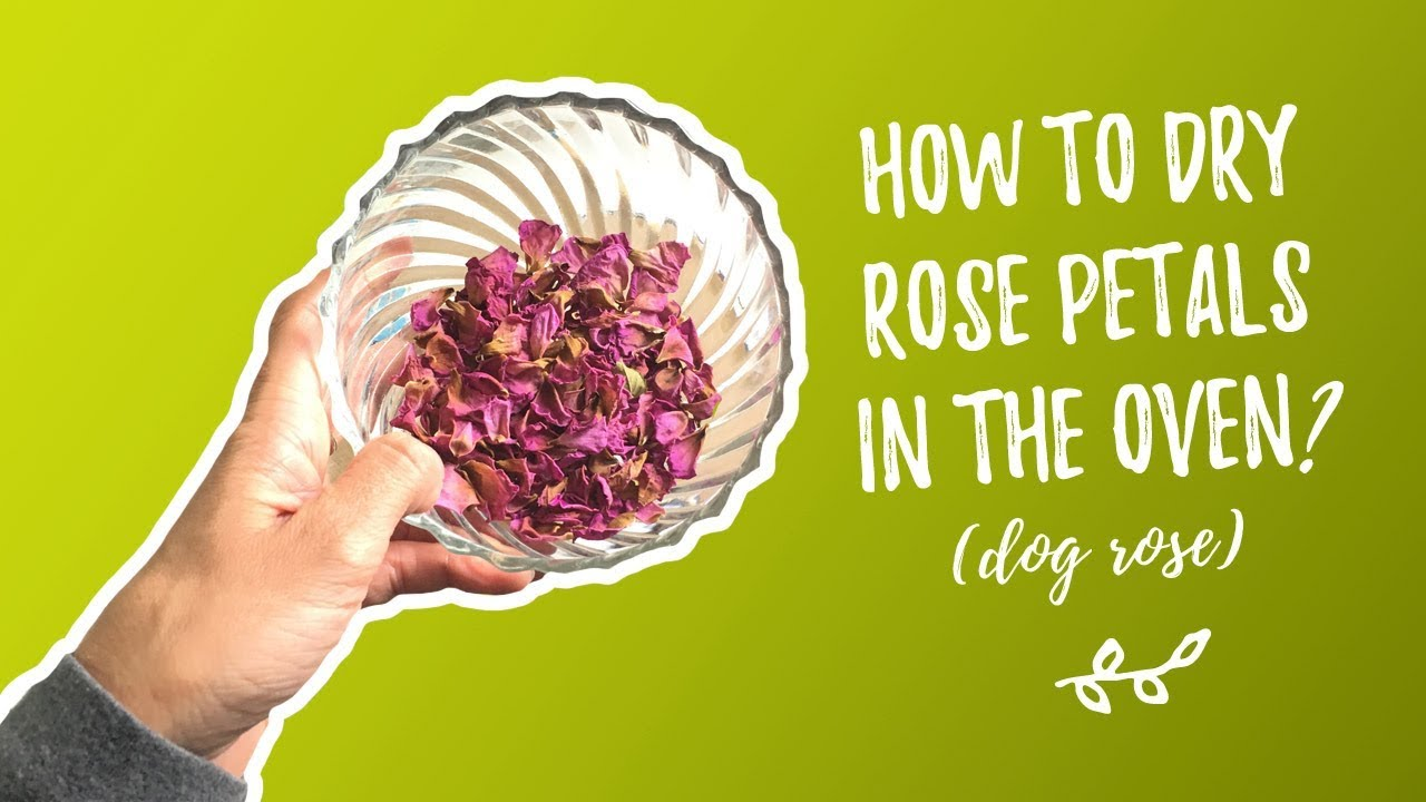 How to dry the dog rose
