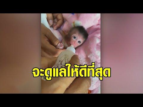 เศร้า ลูกลิงแฝด 3 'เจน-นุ่น-โบว์' บอบช้ำหนัก สิ้นใจแล้ว 2 เหลือ 'เจน' ยังสู้ต่อ