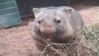 Cranky common wombat thumbnail