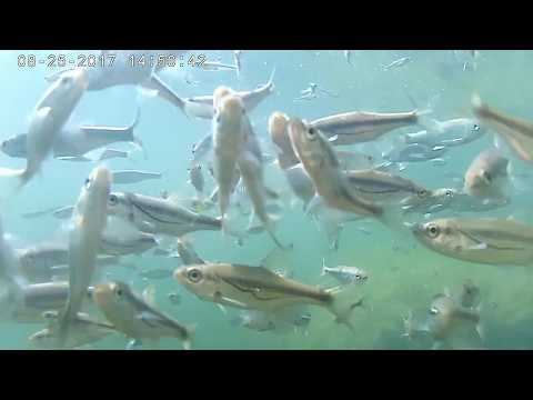 How Fish Eat Bread