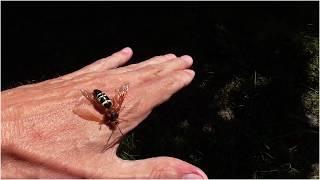 Free-handling A Cicada Killer Wasp
