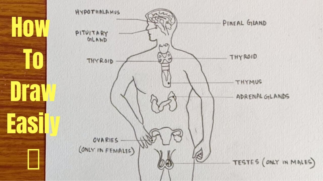 How To Draw Diagram Of Human Endocrine System Easily Step By