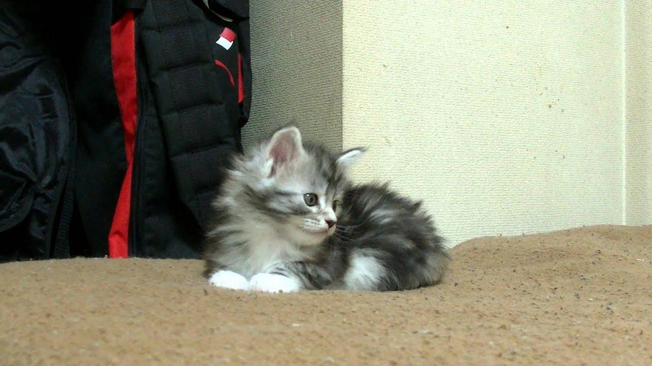 メインクーンの子猫、お目々ぱっ...