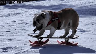 Bulldog Rides Skateboard Sled down Snowy Hill