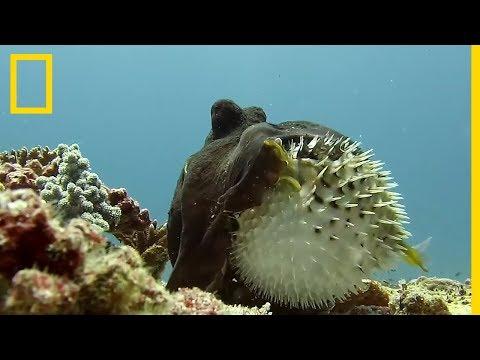 Combat entre une pieuvre et un poisson-globe à épines