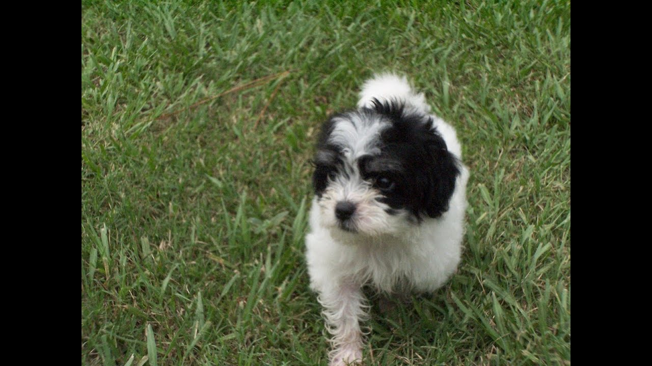 Backpage Hattiesburg Mississippi Malti Poo Puppies Dogs For Sale In