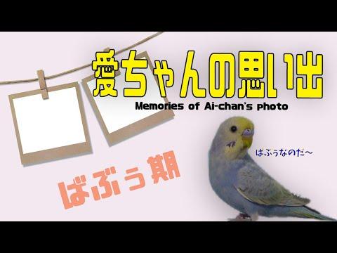 愛ちゃんの思い出(ばぶぅ愛ちゃん期)《16歳のおじいちゃんセキセイインコ愛ちゃん日記》16-year-old budgerigar Ai-chan diary
