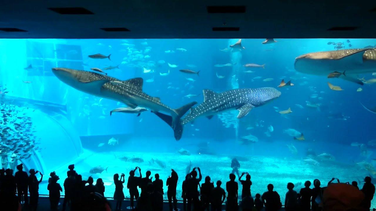 沖繩海生館最大缸鯨鯊 - YouTube