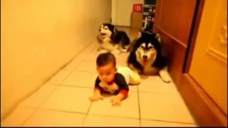 Собаки учат малыша ползать